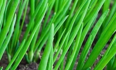 Зелёный лук: польза и вред для здоровья