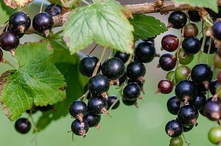 Варенье из черной смородины на зиму — 15 быстрых рецептов для домохозяек